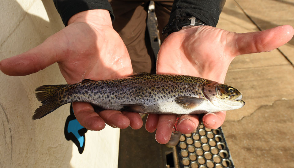 3,500 rainbow trout stocked in the Sipsey Fork below Smith Lake Dam