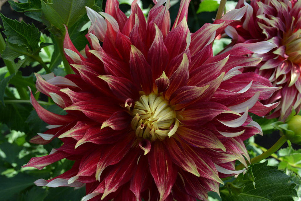 How to grow dahlias in Oregon: Advice from 34 years of