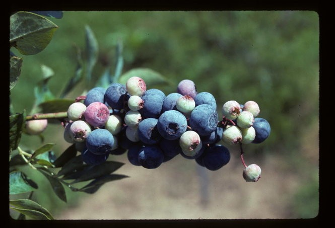 Anthocyanins are the main type of antioxidant that give blueberries their blue hue, and also are responsible for many of blueberries' health benefits. (Photo from the LSU AgCenter)