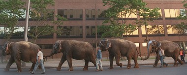 A parade of circus elephants with Ringling Bros. and Barnum & Bailey heads south on State Street, en route to the War Memorial, during a 1998 visit to Syracuse.