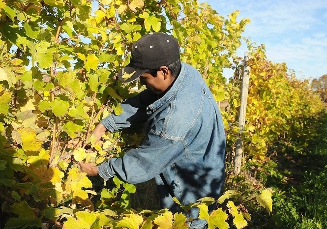 Harvesting grapes at Hunt Country Vineyards on the west side of Keuka Lake.