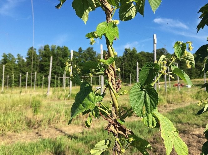Hops growing on bines at Hopshire Farm & Brewery on Route 13 between Ithaca and Dryden, N.Y.