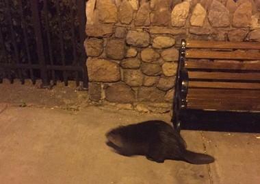 The beaver wasn't aggressive.