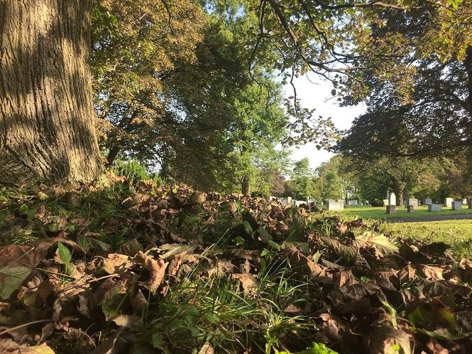 A fungus called tar spot is affecting Norway maple trees like these in Oakwood Cemetery in Syracuse. A related fungus, anthracnose, is turning the leaves brown and forcing them to drop early. The fungi, caused by a wet spring, don't harm the tree and don't affect more the more colorful red and sugar maples.