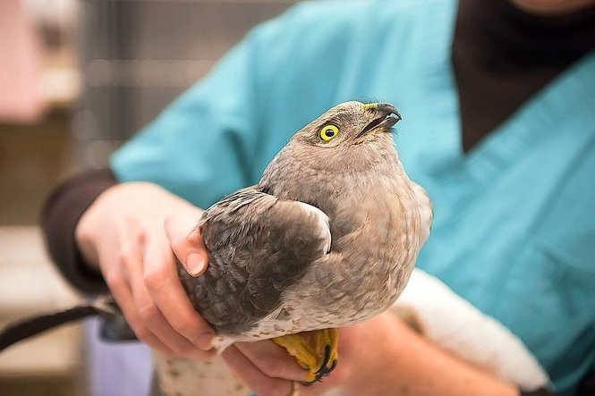 A northern harrier during rehabilitation at Cornell University Wildlife Health Center.