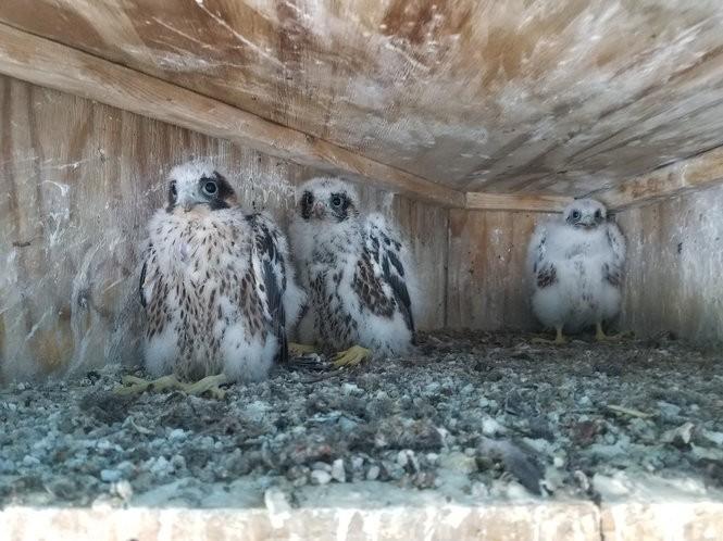 Three baby peregrine falcons at the South Grand Island Bridge.