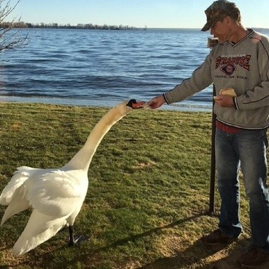 Greg Tupper feeds the male mute swan.