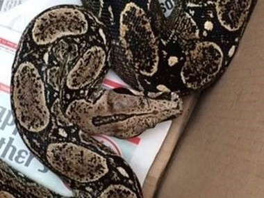The 6-foot-long boa after it was captured by a DEC officer.