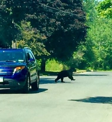 In this 2016 photo, a black bear runs across a street in Oswego.