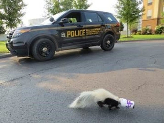 The skunk had an ice cream cup stuck on its head.