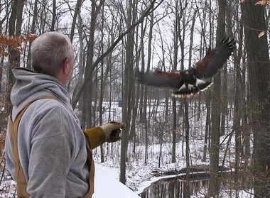 Al Jordan puts a radio transmitter and bells on his birds to keep track of them while hunting.