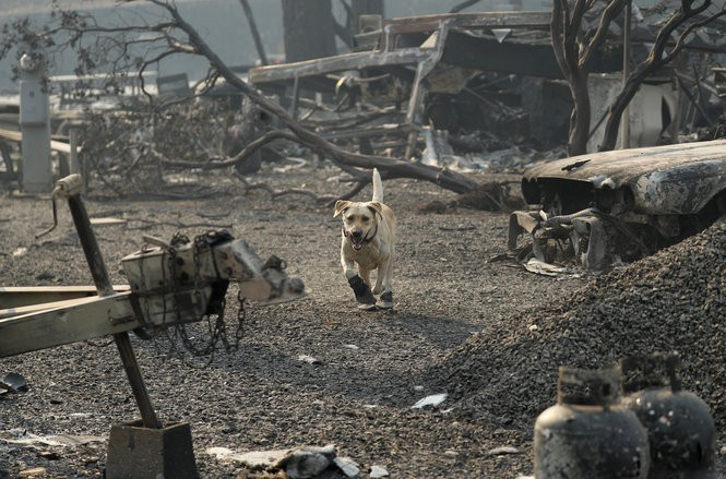 A search and rescue dog searches for human remains at the Camp Fire, Friday, Nov. 16, 2018, in Paradise, Calif.