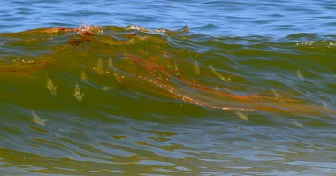A sight to make the heart sink: Fish glide in the oil-stained surf at the Gulf Shores public beach in late June 2010. (File)
