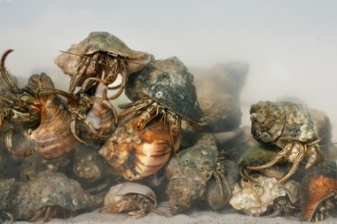 Dense packs of hermit crabs, clutching and crawling across each other, can sometimes been seen in Dauphin Island's shallows. (AL.com)