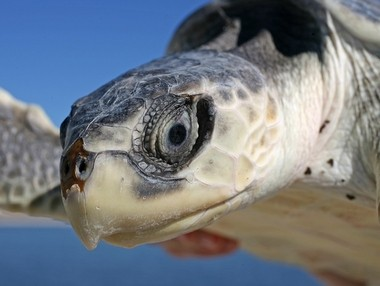 At Dauphin Island, a researcher readies a Kemp-Ridley sea turtle for release into the water. The Kemp-Ridley species is the rarest of sea turtles. (AL.com)
