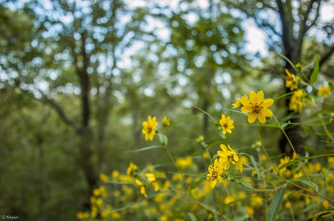 Rare Confederate daisies growing on a 225-acre tract of land on Double Oak Mountain that was recently purchased by the Freshwater Land Trust, in an agreement that will keep a 2-mile stretch atop the ridge protected from future development. (Photo by Zac Napier, Freshwater Land Trust)