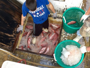 The hold is full of market-sized red snapper, which range from 1 to 3 pounds. Captain Simms had to shell out $3,000 for the right to catch 1,000 pounds of snapper on this trip. His profit will only be about $1,500 of these fish, while a broker will earn more than twice as much.
