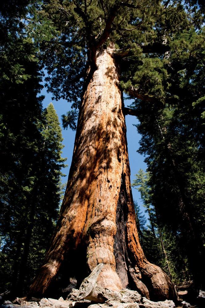 A massive sequoia at Mariposa Grove.