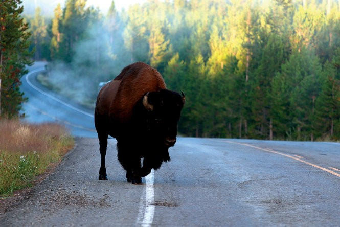 A buffalo crosses Grand Loop Road.