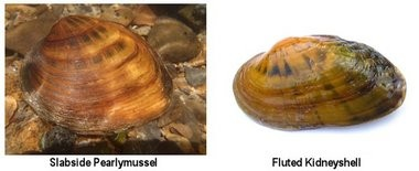 The two mussel species pictured above, which survive in only a few streams in the Tennessee River watershed, are now protected under the federal Endangered Species Act. (Courtesy Brett Ostby, U.S. Fish & Wildlife Service)