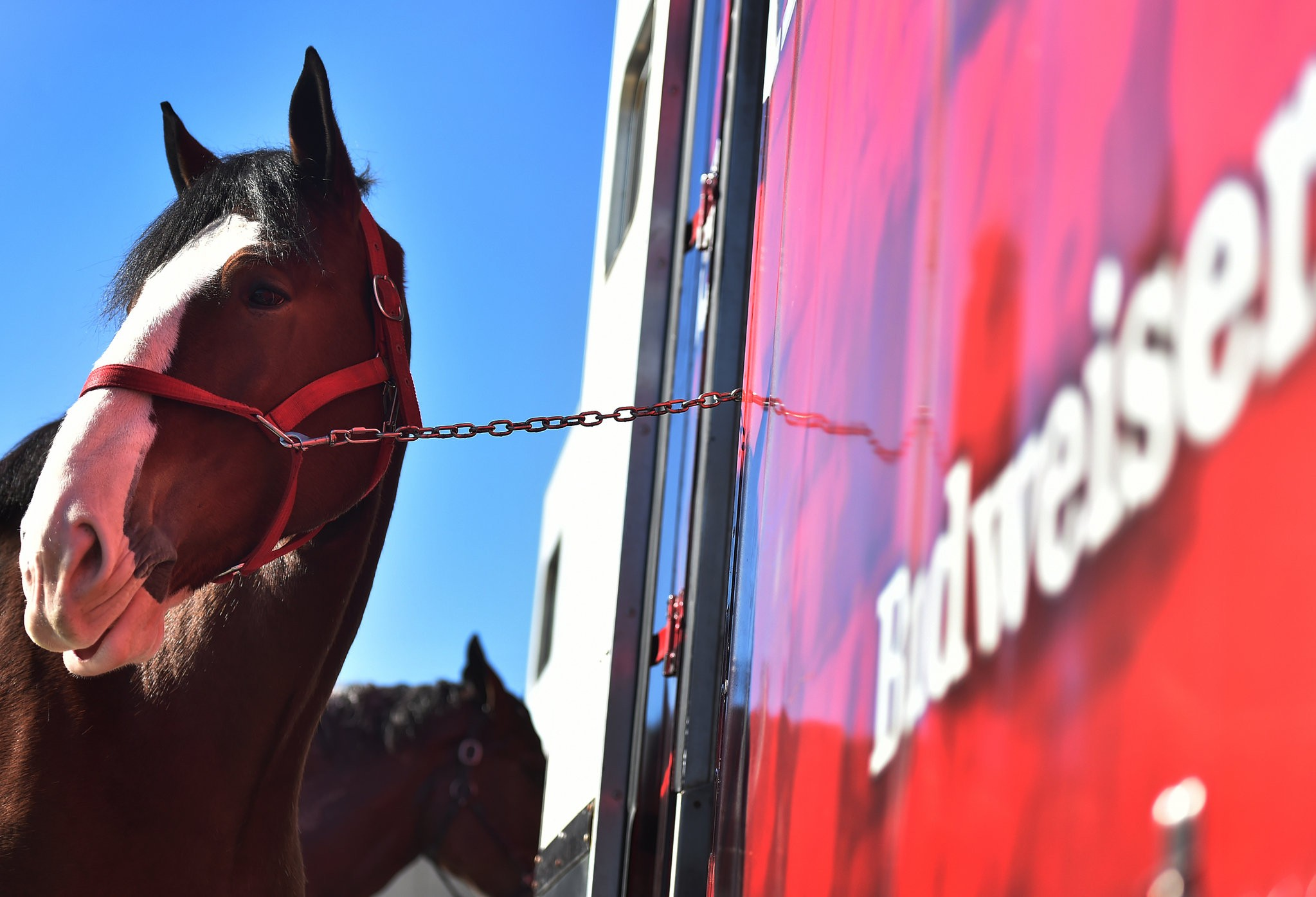 Budweiser Clydesdales In Birmingham A Few Facts About The Gentle Giants Al Com