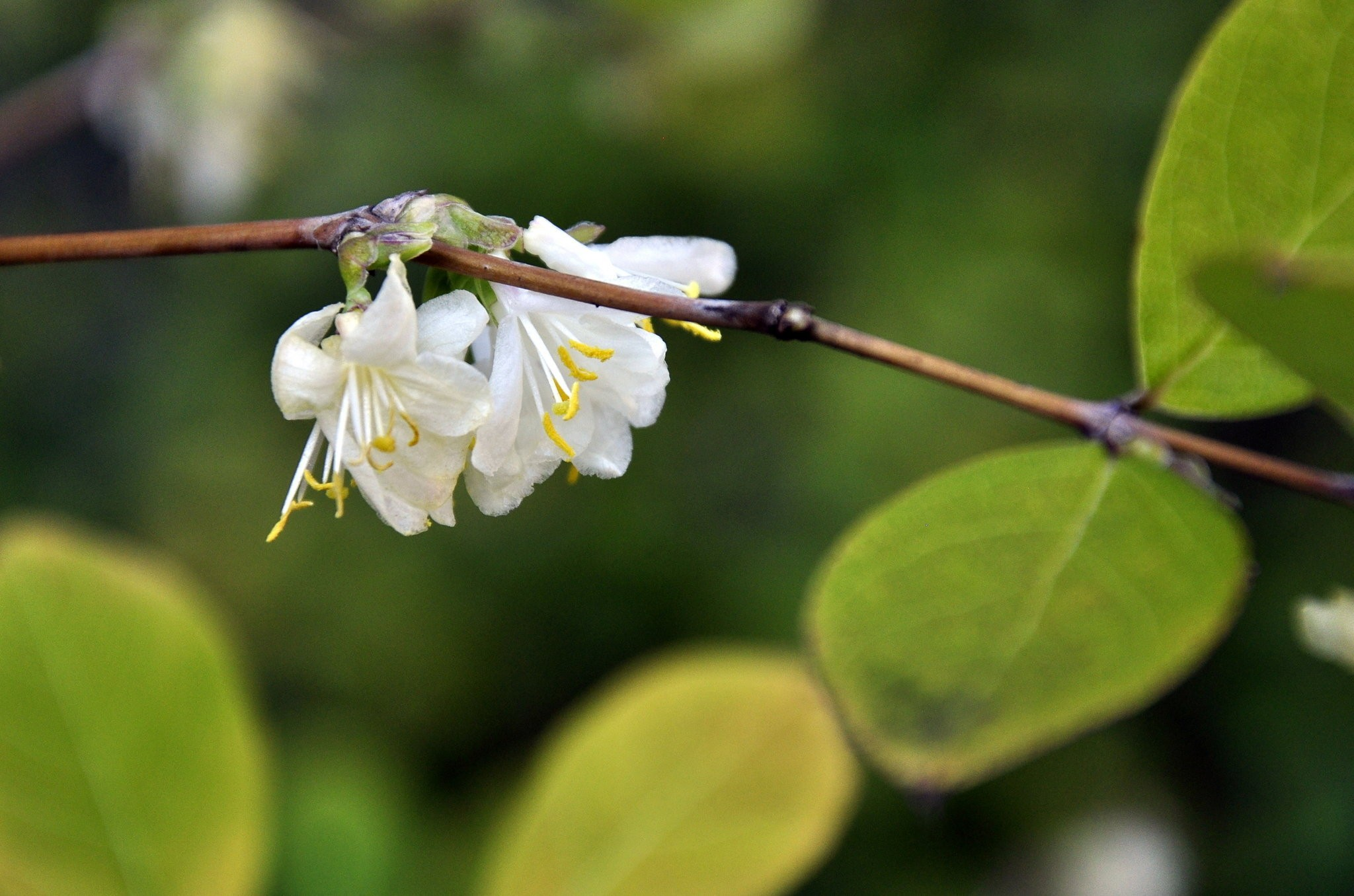 Extra flowers on a honeysuckle - al com