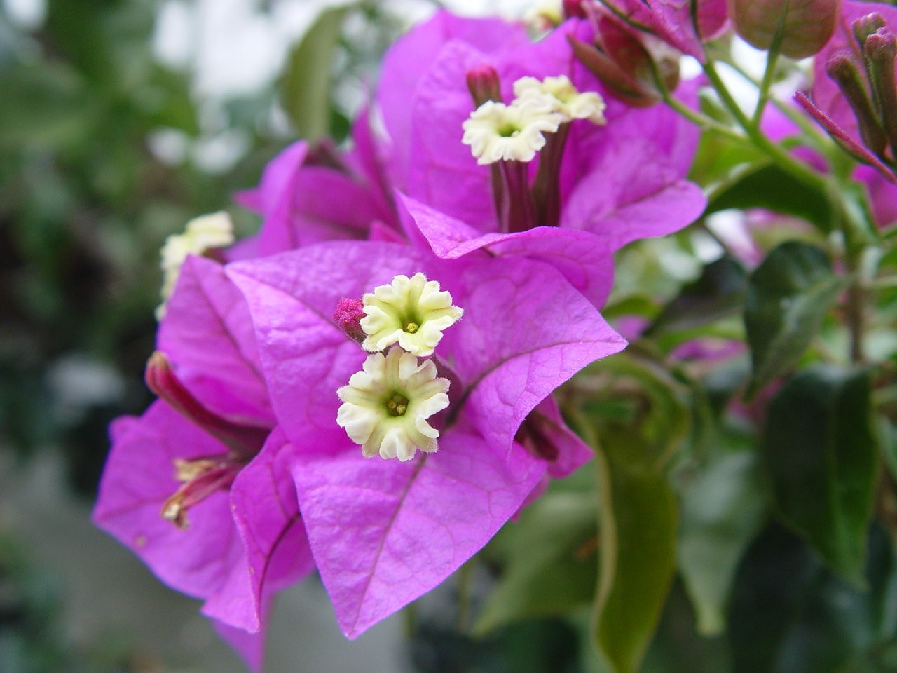 It May Be Too Cold For Many Bougainvilleas To Bloom Al Com