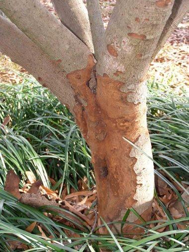 Damage from Bark-eating caterpillar on Loquat tree