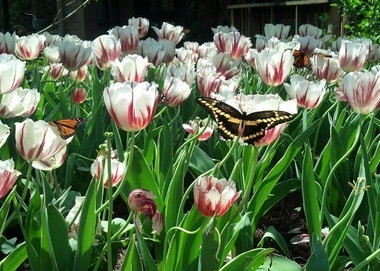 White tulips in the butterfly house at the Botanical Garden (Contributed photo)