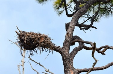 Osprey Nest at Bon Secour (Boris Datnow)