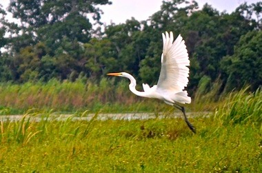 Snowy Egret Taking Flight (Boris Datnow)