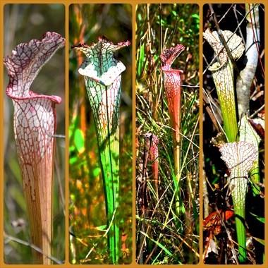 Pitcher Plants at Splinter Hill Bog (Boris Datnow)