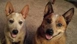 This is Shiloh and Levi, Billye Asherbranner's two Australian Cattle Dogs. (Photos courtesy Billye Asherbranner)