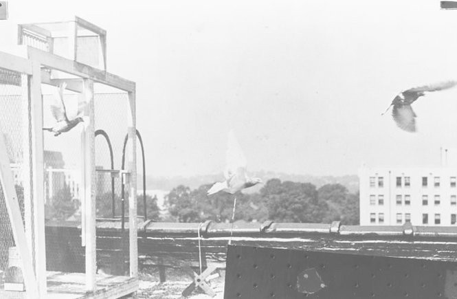 In the 1940s, The Birmingham News used carrier pigeons to ferry film from Legion Filed to the top of The News building downtown. (The Birmingham News/Alabama Media Group/AL.com)