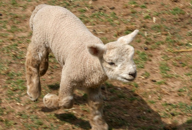 Photos of adorable newborn Babydoll sheep will make you