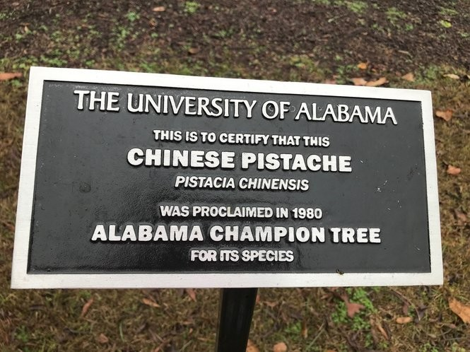 Around the time UA's president started lobbying the Alabama legislature to transform the college into a military school - before the University of Alabama even thought about a football team - the Champion tree was planted.