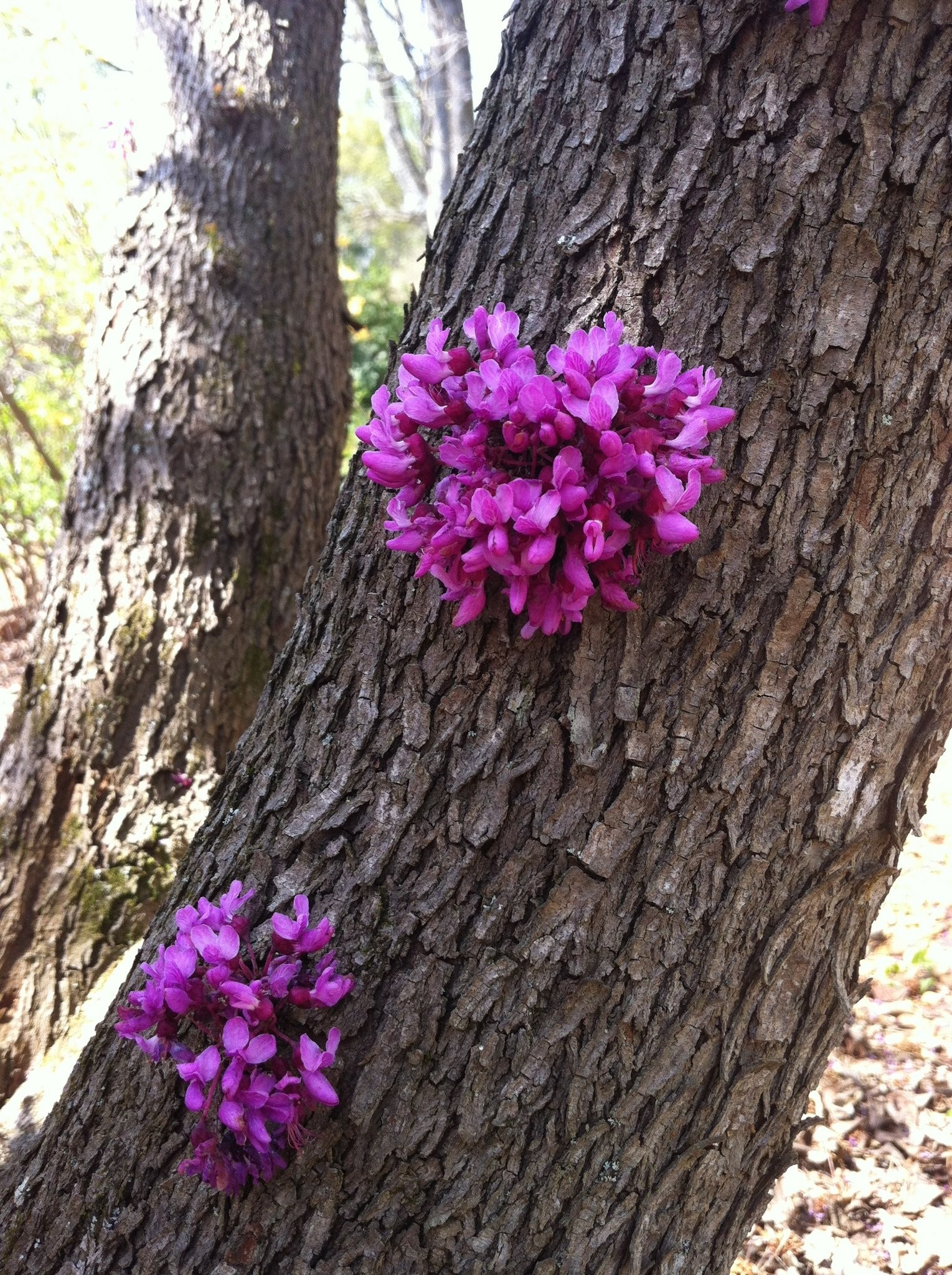 Eastern Redbud Has Quirky Flowering Characteristics Harvey Cotten