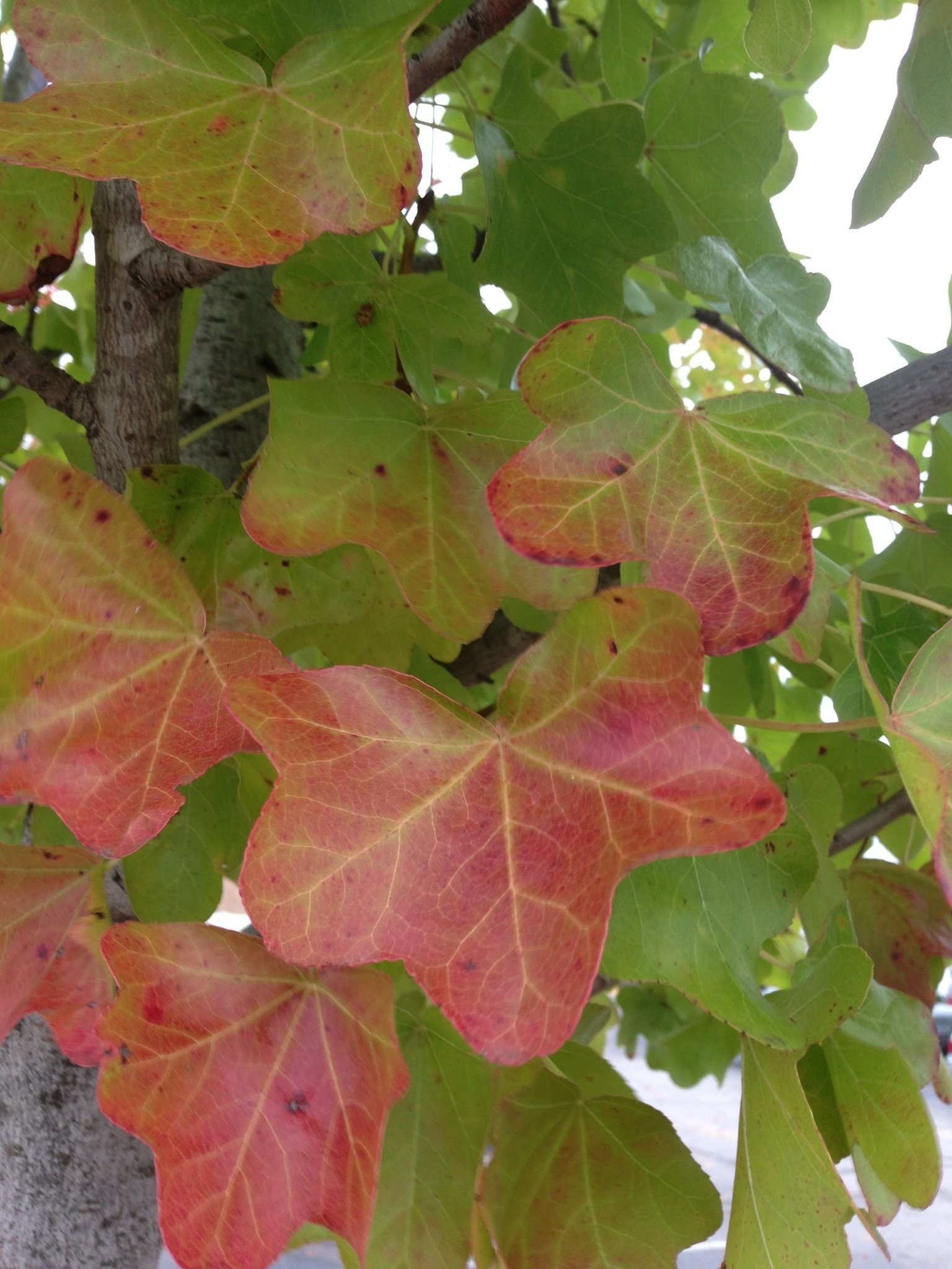A Sweetgum Tree Without the Sticky Seed Capsules (Harvey Cotten