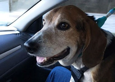 Buddy the beagle is pictured in the car with his owners after being released from the vet. Buddy was attacked Jan. 5 by a neighborhood pit bull. (Contributed photo)