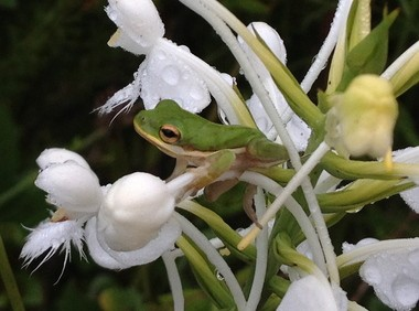 One-lined tree frog and white fringed orchid. (Ben Raines)
