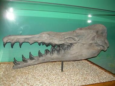 A zeuglodon skull preserved in a museum. The large teeth in the back of the mouth are the size of a man's hand.