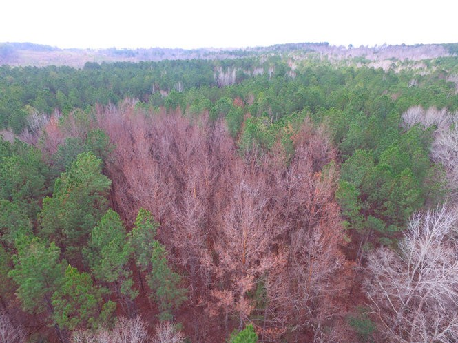 Suspected damage from Southern pine beetle infestations is shown via aerial photographs.Alabama Forestry Commission
