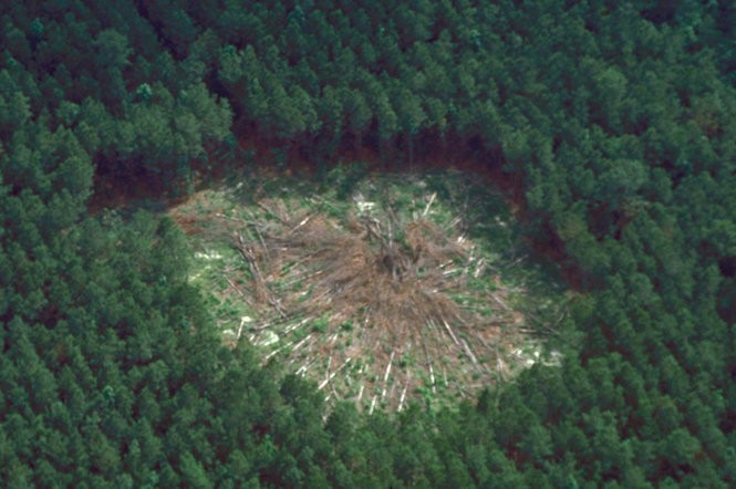 In the cut and leave treatment for Southern pine beetle outbreaks, infested trees are felled toward the middle of the area of the outbreak, along with a buffer of healthy trees in the direction the infestation was spreading.