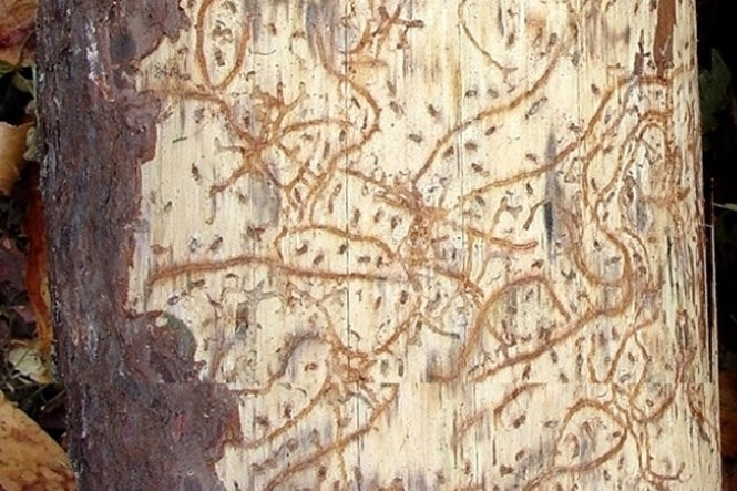 Southern pine beetles carve distinctive winding tunnels or galleries like these under the bark of their host trees.