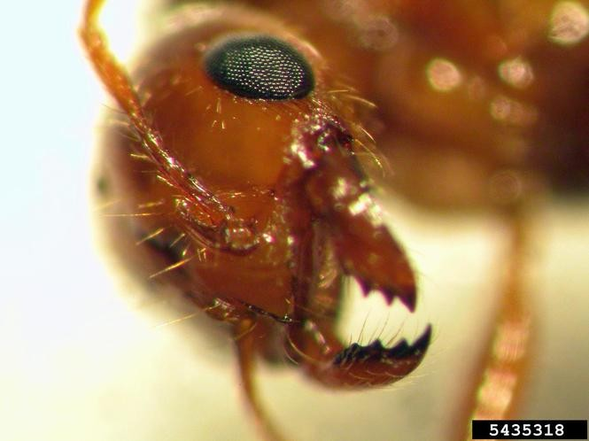 Fire Ants Are Hard To Control Even With Decapitating Flies