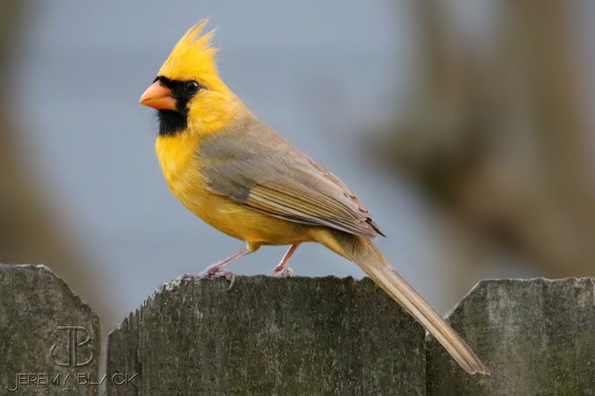 Photo of a yellow cardinal on a fence post in Alabama, Ala. The bird has a genetic mutation that causes its feathers to be yellow instead of red.