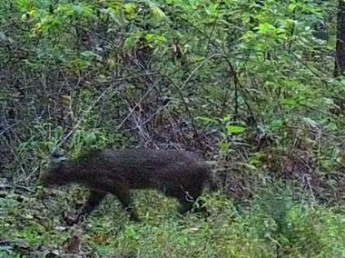 Michelle Turner captured what may be a rare jaguarundi in Cleburne County.