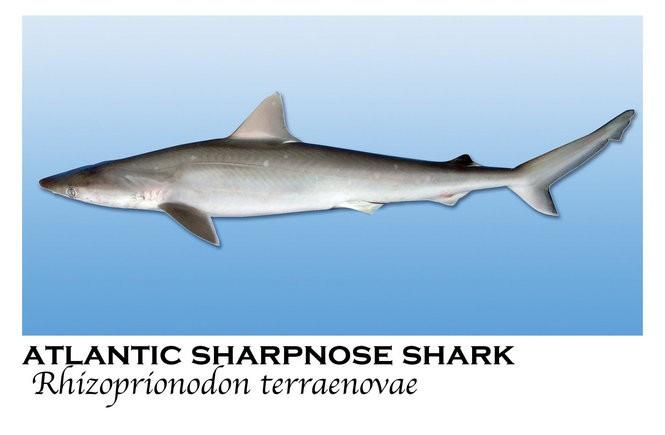 Meet 16 sharks found in Alabama coastal waters - al com