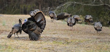 Alabama's Conservation Advisory Board reversed an earlier decision and voted to reinstate a portion of fall turkey season during its meeting Saturday at Joe Wheeler State Park Lodge in Rogersville. (Joe Songer/jsonger@al.com)