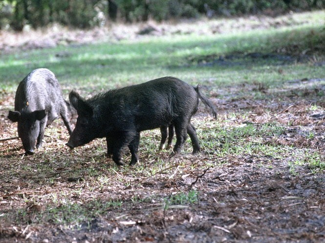 Wild hogs are becoming abundant across Alabama, concerning state game managers. Import of the animals has been illegal since 1997.